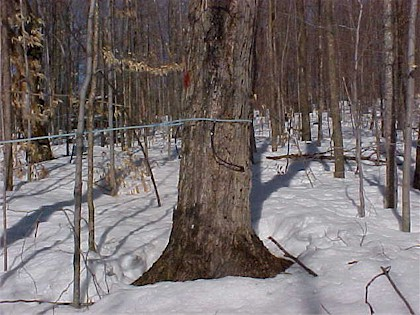 Tree tapped with plastic tubing